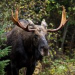 moose-alces-alces-a-male-bull-emerging-from-the-fo-PYWXZGR